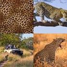 7 Lettres Niveau Leopard